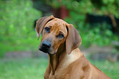 Sad puppy. A beautiful African little Rhodesian Ridgeback hound puppy dog head portrait with cute and sad expression in the pretty alert face watching other dogs Stock Images