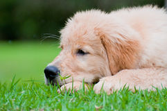 Sad puppy Royalty Free Stock Images
