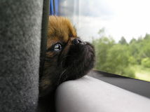 Sad puppy. The puppy looks out the bus window Stock Photography