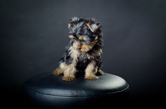Sad puppy. Yorkshire terrier puppy  on black background Royalty Free Stock Photography