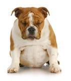 Sad puppy Stock Photography