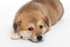 Sad puppy Stock Photo