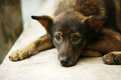 The sad puppy Royalty Free Stock Photos