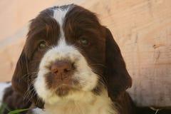 The sad puppy Royalty Free Stock Image