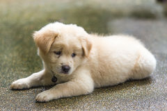 Free Sad Puppy Royalty Free Stock Images - 43584579