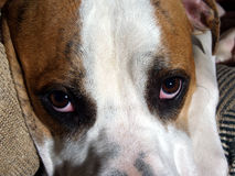 Sad Puppy. An American Bulldog puppy looks up at you with those big puppy eyes Royalty Free Stock Photography