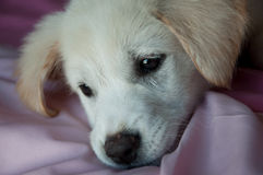 Sad puppy on blanket Royalty Free Stock Photo