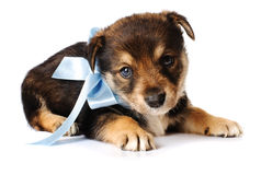 The sad puppy with a blue bow. Isolated on white Royalty Free Stock Photos