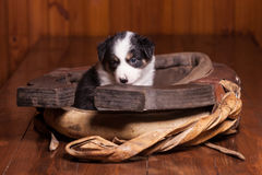Sad puppy border collie sitting inside collar for Stock Image