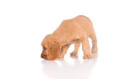Sad puppy dog Stock Photography