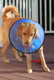 Sick Dog with Elizabethan Collar Cone. Sick Puppy dog wearing Elizabethan Collar or plastic cone after surgery to protect licking and infection Royalty Free Stock Photography