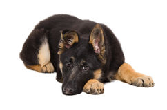 Sad puppy German Shepherd. Lying isolated on white background Stock Images