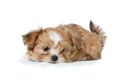 A sad puppy laying down Stock Photography