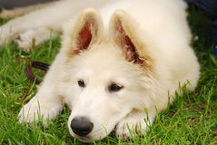 Sad puppy lying on the grass Royalty Free Stock Photo