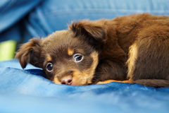 Sad puppy Toy Terrier Stock Photography