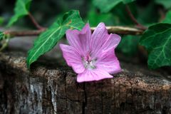 Sad purple flower on the cut log. royalty free stock images