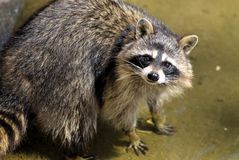 Sad raccoon Royalty Free Stock Photography