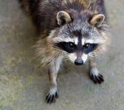 Sad raccoon Stock Image