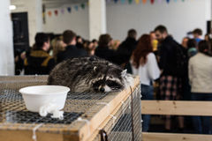Sad raccoon in a cage. It can be used for background animal welfare Stock Photo