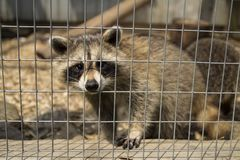 Sad raccoon, looking through its cage. Sad raccoon, looking through its zoo cage and reaching with its paw Stock Photo