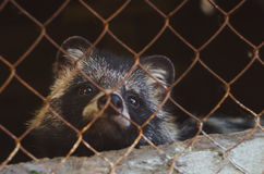 A sad raccoon sits in a cage in the zoo Royalty Free Stock Image