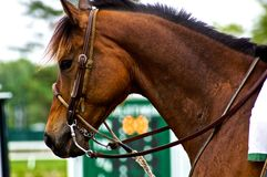 Sad Race Horse. Race horse with a somber look Royalty Free Stock Photography