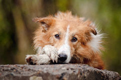 Sad red border collie Stock Photo