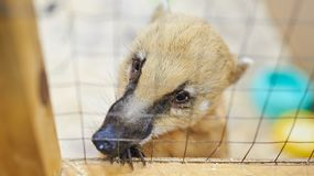 Sad red coati petting zoo. For any purpose royalty free stock photo