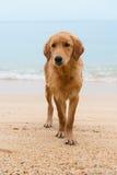 Sad red dog on the sand beach Royalty Free Stock Photo