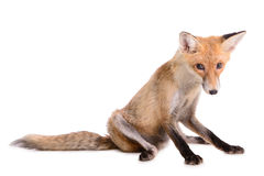 Sad red fox isolated Stock Image