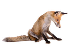 Sad red fox isolated Stock Photos