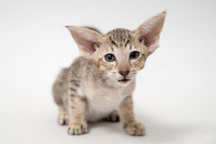 Sad red oriental kitten close-up Royalty Free Stock Photos