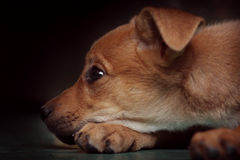 Sad red puppy pooch at the shelter Royalty Free Stock Photography