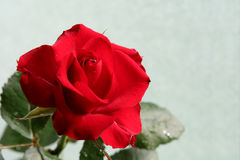 Sad red rose. Dark red rose against a celadon background Royalty Free Stock Photography