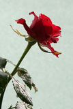 Sad red rose. Dark red rose against a celadon background Royalty Free Stock Images