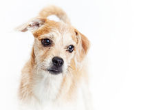 Sad Rescue Dog Closeup Royalty Free Stock Images