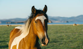 Sad and resentful horse in the nature reserve of Lake Baikal Royalty Free Stock Photo