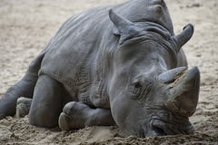 A sad Rhino lying on the sand. Royalty Free Stock Photo