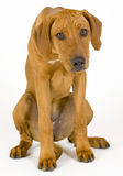 Sad Rhodesian Ridgeback female, 5 month old. Image of a humbled and very sad dog isolated on white. The female Rhodesian ridgeback hound is 5 month old. The dog royalty free stock photography