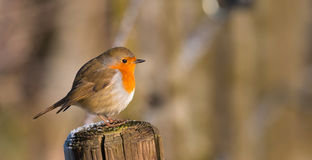 Sad robin sitting on a pole Stock Photo