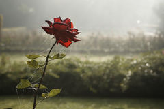 Sad rose Royalty Free Stock Image