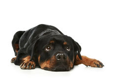 Sad Rottweiler on a white background Stock Photos