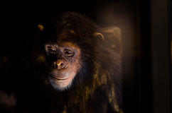 SAD schimpans Royaltyfri Foto