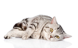 Sad scottish cat looking at camera. isolated on white background Stock Images