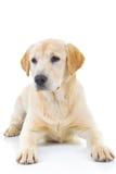 Sad seated labrador retriever dog Stock Photography