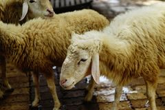 Sad sheep. Close up portrait sheep in the background royalty free stock photos