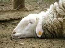 The sad sheep with the lost look. royalty free stock photos