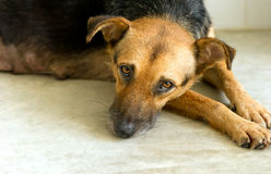 Sad Shelter Dog. Is a very unhappy German Shpherd dog looking like he wants someone to take him home and love him Royalty Free Stock Photo