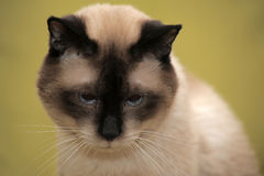 Sad Siamese cat Stock Images