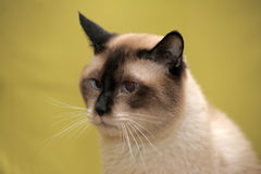 Sad Siamese cat Royalty Free Stock Photos